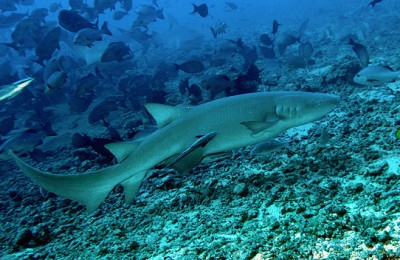 A-Business-with-No-Future-Shark-and-Ray-Fisheries-in-Indonesia