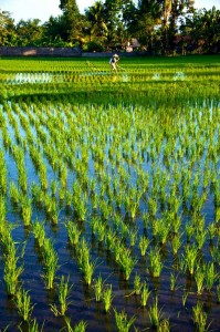 Rice fields by David Metcalf