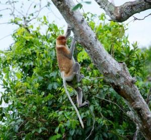 Tree flyers Kalimantan By David Metcalf