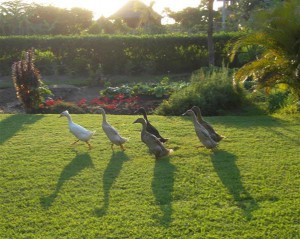 Ducks on the grass