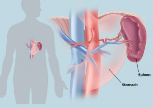 The Spleen