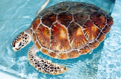 A Hop, Skip and a Jump to a Hawksbill Turtle Conservancy