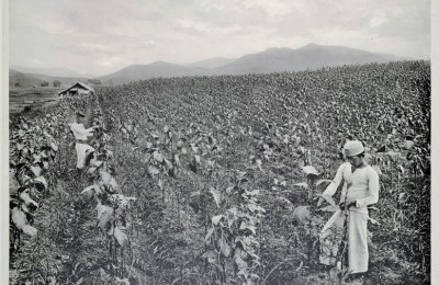 Old picture of a tobacco farm