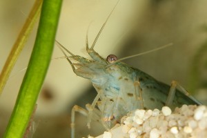 Caridina Shrimp Copyright Wikipedia Commons