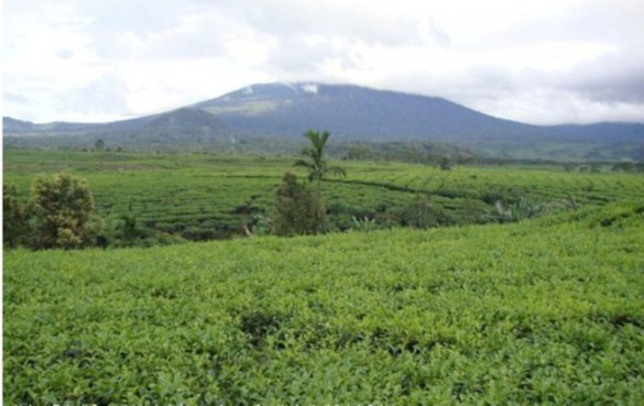 Tea garden with Mount Kerinci in the background