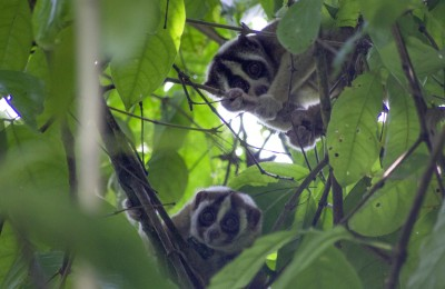 Released loris (with collar) pairing up with a loris released 3 years earlier