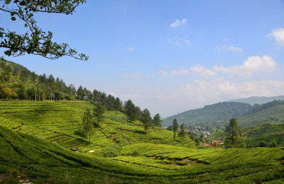 Rolling tea plantations on the Puncak Pass