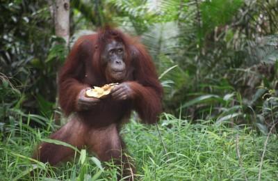A feeding orangutan on Kaja Island, Central Kalimantan by Angela Richardson