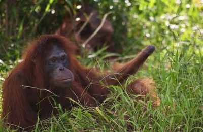 Kesi, the orangutan with one hand on Bapalas Island