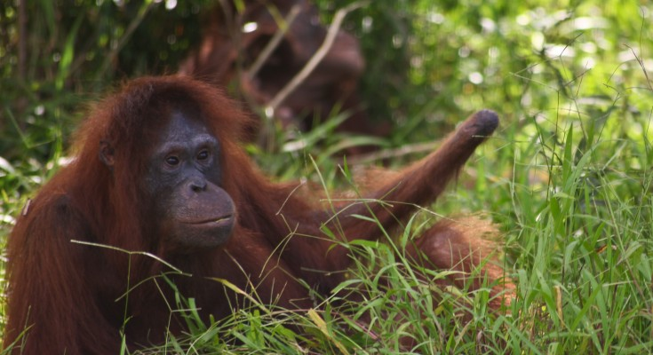 Kesi, the orangutan with one hand on Bapalas Island