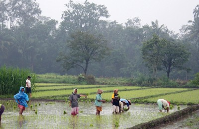 Rice plantation in Java