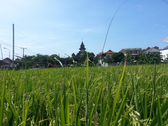 Paddy fields in Canggu