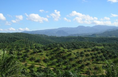 Oil_palm_plantation_in_Indonesia. Courtesy Wikimedia