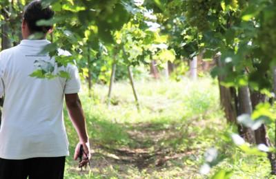 Hatten Wines Vineyard