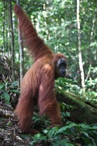 An orangutan in Gunung Leuser National Park. Photo Angela Richardson
