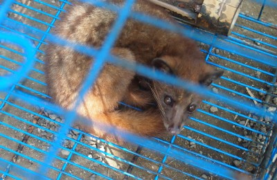 Caged civet 2