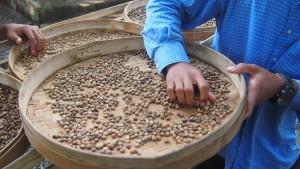 Caged civet beans
