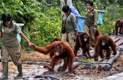 orangutans-released-kalimantan