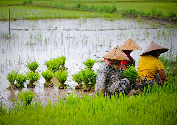 indonesia-agriculture