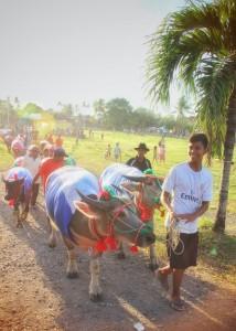 Buffalo farmer and his cattle at the kebo balamung parade in empang sumbawa