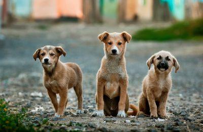 dog rabies animal