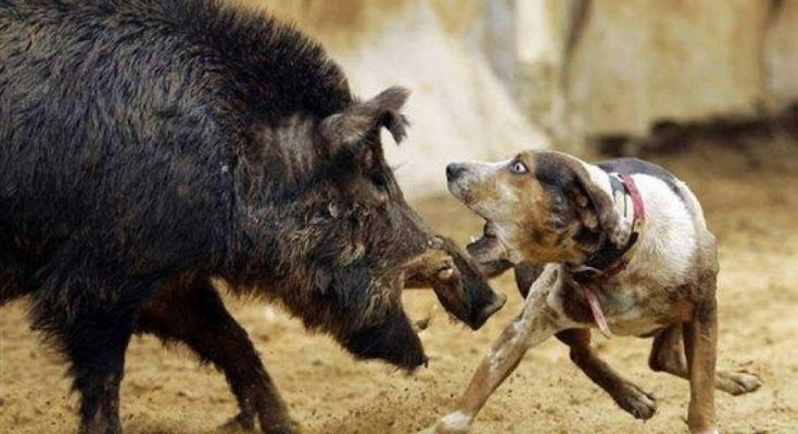activist calls for end to indonesia dog and boar fights indonesia