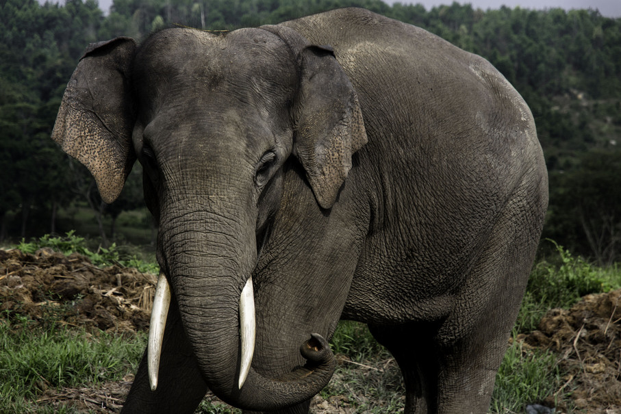 Critically Endangered Species That Are Threatened By Humans |Sumatran Elephant Endangered